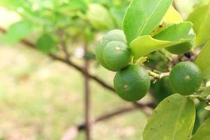 närbild av färska limefrukter foto