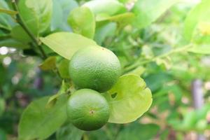 färskt citronträd foto