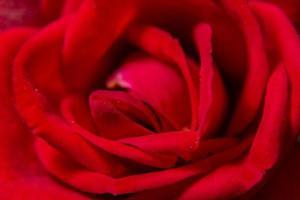röd ros närbild
