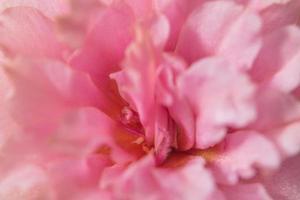 rosa blomma närbild