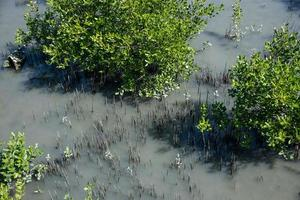 mangroveskog i Thailand foto