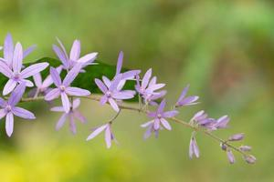 lila blomma bakgrund