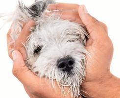 händer som håller maltesisk hundvalphund foto