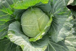 kål i grönsaksodlingen på sommaren foto