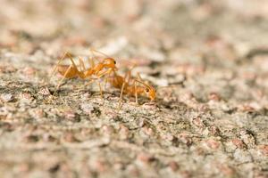 röda myror på ett träd