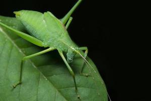 grön gräshoppa på ett blad foto