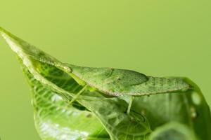 gräshoppa på ett blad foto