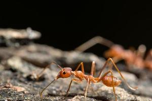 röd myra på marken foto