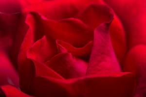 bakgrund av röda rosor