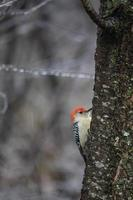 rödbukad hackspett på trädstammen foto