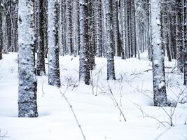 träd täckta med snö foto