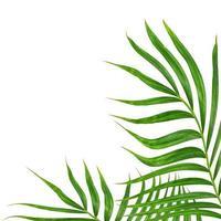 grönt palmblad på vitt foto