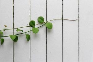 klättrare växt på trä planka foto