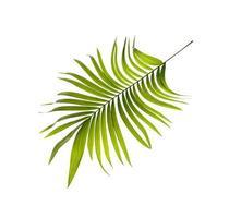 grönt blad av palmträdbakgrund foto