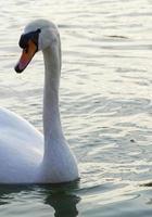 huvud och hals av en vit svan som simmar