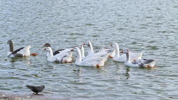 flock av gäss som simmar på sjövattnet