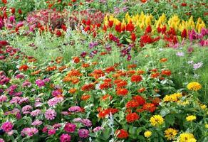 färgglad blomma i trädgården foto