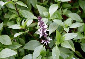 lila blommor och gröna blad foto