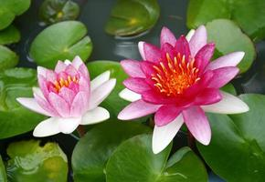 vacker rosa näckros eller lotusblomma i dammen foto