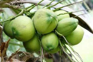 söt kokosnöt