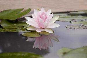 rosa lotus på vatten foto