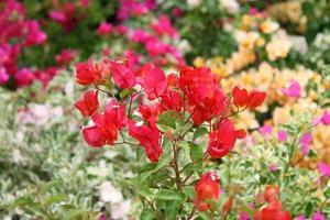 blommor rosa blommande bougainvilleas foto