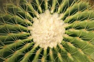 centrum av en kaktus foto