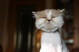 en närbild av en persisk katt foto