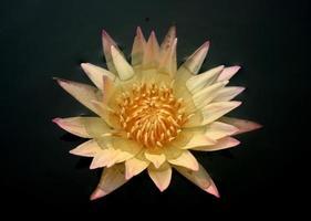 gul och rosa lotus foto
