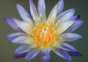 blå lotus på vatten foto
