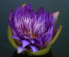 lila lotusblomma i vatten foto