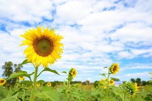 solrosor i fält foto