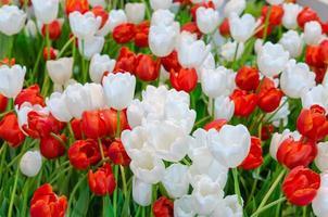 röda och vita tulpaner foto