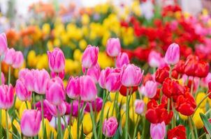 rosa och röda tulpaner foto