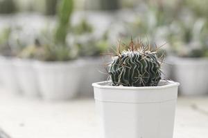 kaktus i en kruka