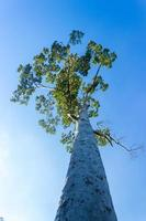 vy som ser upp på högt träd med blå himmel foto