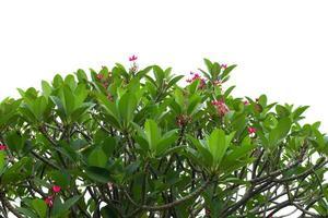 rosa blommor på busken
