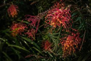 frodig grevillea buske