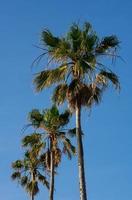 palmer mot blå himmel foto
