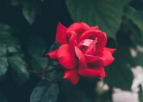 röd ros i trädgården foto