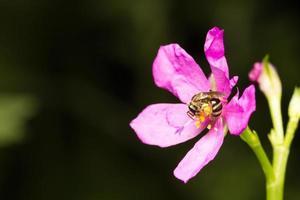 bi som letar efter nektar på en blomma foto
