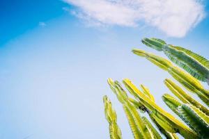 kaktus saguaro blommar på våren foto