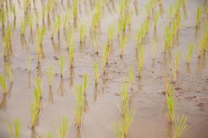 ris gård i Thailand foto
