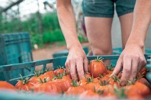 person som sorterar tomater foto