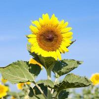 solros på sommaren