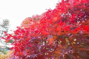 röda blad på trädet foto