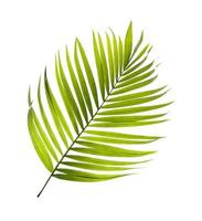 singel kokosnöt träd blad foto