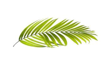 grönt palmblad på vit bakgrund foto