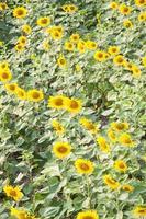 solrosor på fältet
