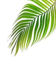 grönt tropiskt blad på en vit bakgrund foto